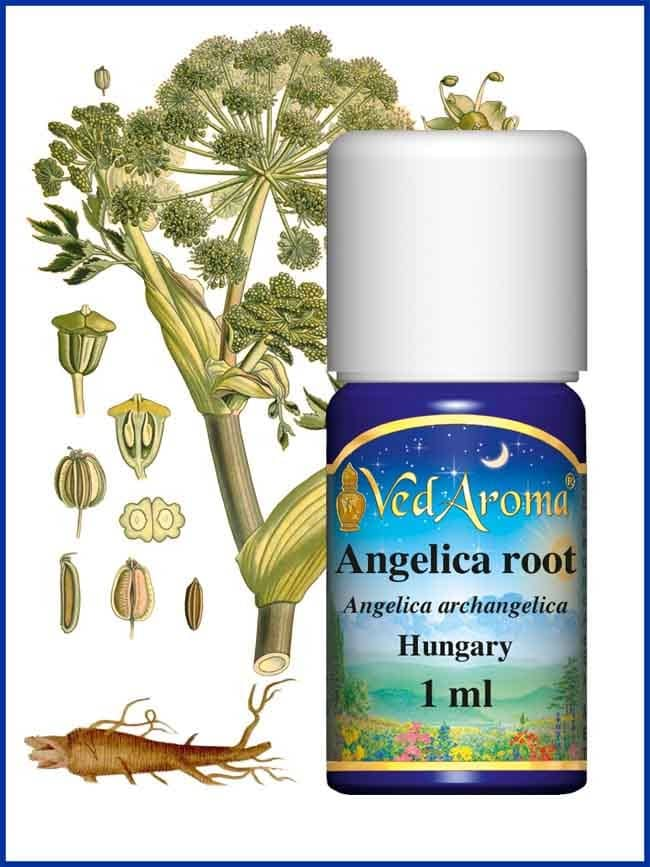 angelica-root-essential-oil