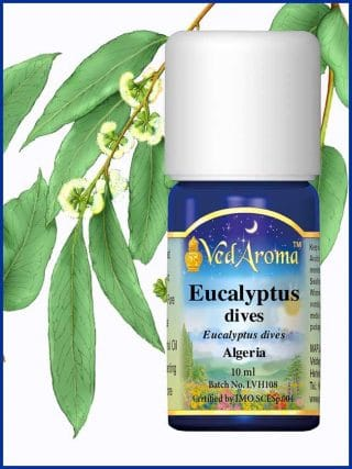 eucalyptus-dives-essential-oil