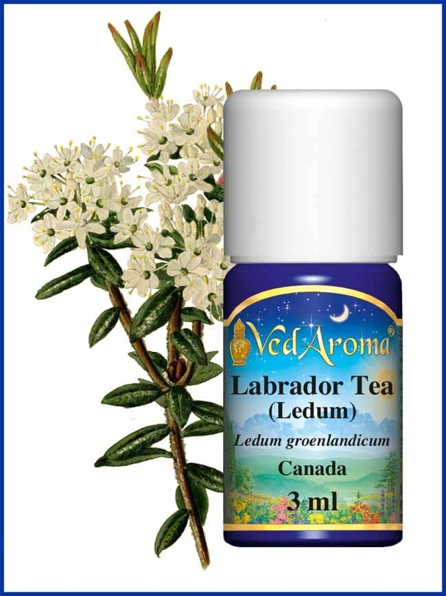labrador-tea-ledum-essential-oil