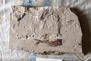 Fossil Fish 104