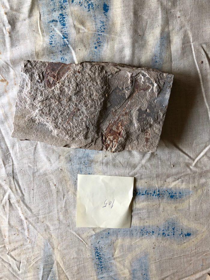 Fossil Fish 105
