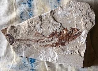Fossil Fish 109