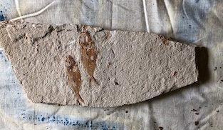 Fossil Fish 11
