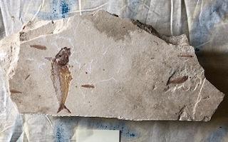 Fossil Fish 113