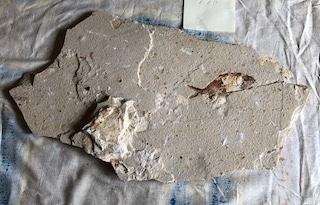 Fossil Fish 116