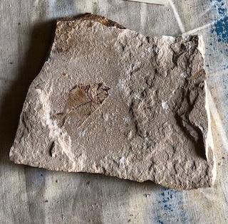 Fossil Fish 120
