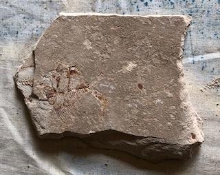 Fossil Fish 121