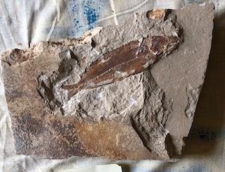 Fossil Fish 124