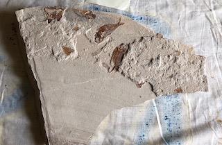 Fossil Fish 13