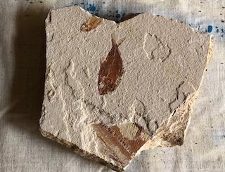 Fossil Fish 14