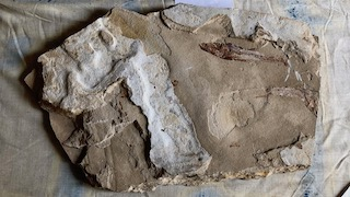 Fossil Fish 19