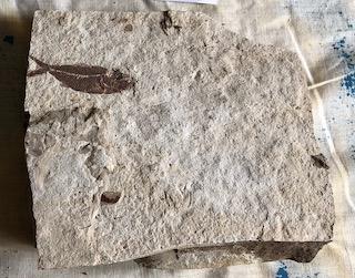 Fossil Fish 20