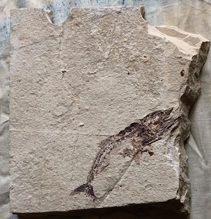 Fossil Fish 21