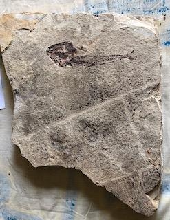 Fossil Fish 24