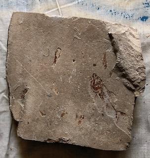 Fossil Fish 27