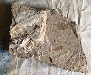 Fossil Fish 32