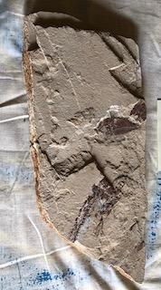 Fossil Fish 33