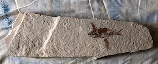 Fossil Fish 34