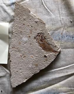 Fossil Fish 41