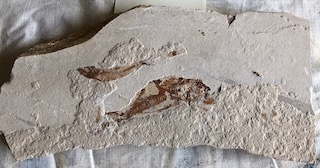 Fossil Fish 43
