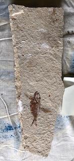 Fossil Fish 49