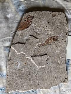 Fossil Fish 53
