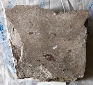 Fossil Fish 56