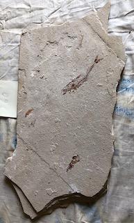 Fossil Fish 60