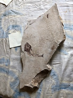 Fossil Fish 62