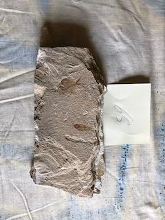 Fossil Fish 65