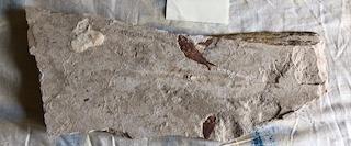 Fossil Fish 7