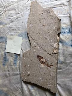 Fossil Fish 70