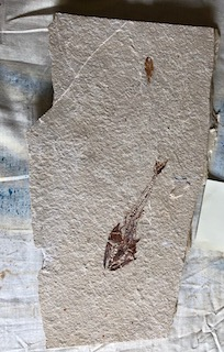 Fossil Fish 76