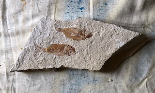 Fossil Fish 77