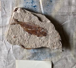 Fossil Fish 78