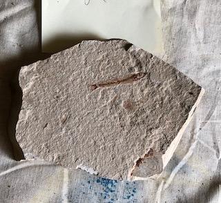 Fossil Fish 81
