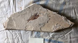Fossil Fish 87