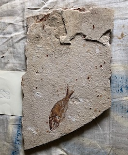 Fossil Fish 88