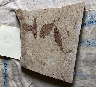 Fossil Fish 89