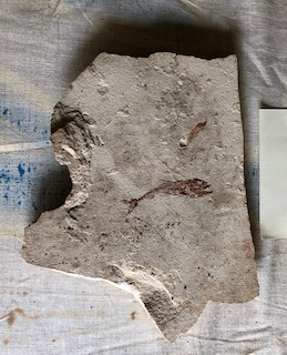 Fossil Fish 91