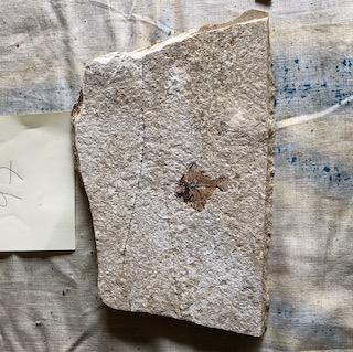 Fossil Fish 97